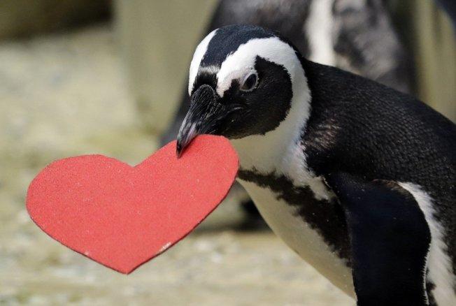 舊金山動物園情人節傳統,提供紅色愛心給企鵝築巢,藉此吸引伴侶的目光。美聯社