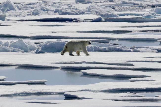 中美俄三大咖正在發動一場「新冷戰」,圖為海冰上的北極熊。(美聯社)