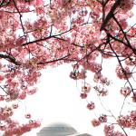 好消息!華府暴雪過後 櫻花照樣盛開