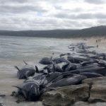 領航鯨擱淺澳洲海灣  140多頭死亡