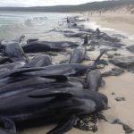 (影音)上百鯨魚擱淺 僅剩15隻存活