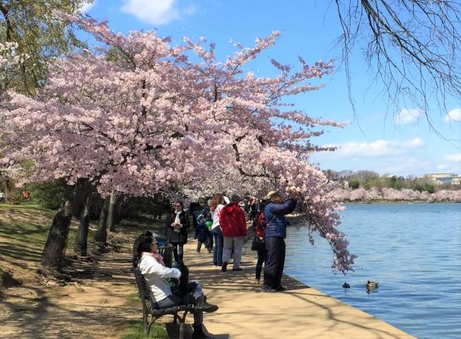 華府潮汐湖畔櫻花盛放首日,低氣溫驅走不少人氣,但也讓攝影發燒友可以盡情拍美照。(特派員許惠敏/攝影)