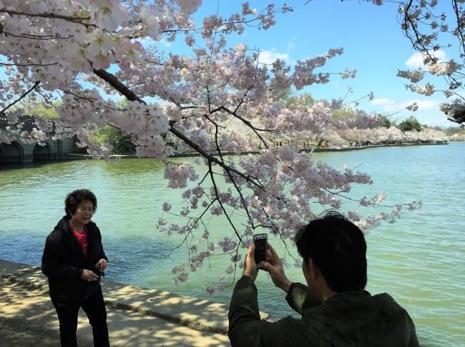 華府潮汐湖畔櫻花盛放首日,雖冷還是吸引賞花客徘徊留影。(特派員許惠敏/攝影)