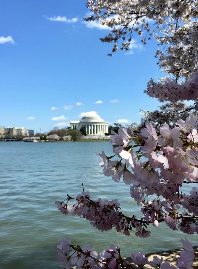 華府潮汐湖畔櫻花盛放首日,艷陽高照但低氣溫驅走不少人氣。(特派員許惠敏/攝影)