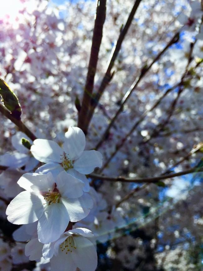 華府潮汐湖畔櫻花盛放首日,盛放的櫻花迎風挺立。(特派員許惠敏/攝影)