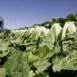 全美11州爆發大腸桿菌疫情  家有「切碎蘿蔓生菜」快扔