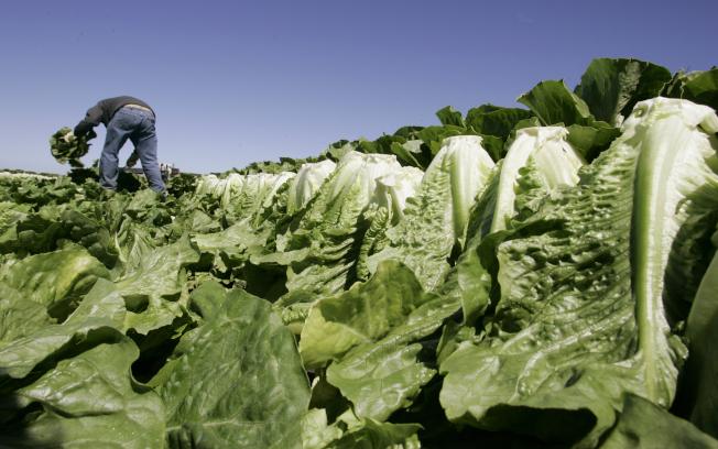 蘿蔓生菜被懷疑是在全美至少11州爆發大腸桿菌疫情的原凶。圖為加州農人在照顧養植的蘿蔓生菜。(美聯社)