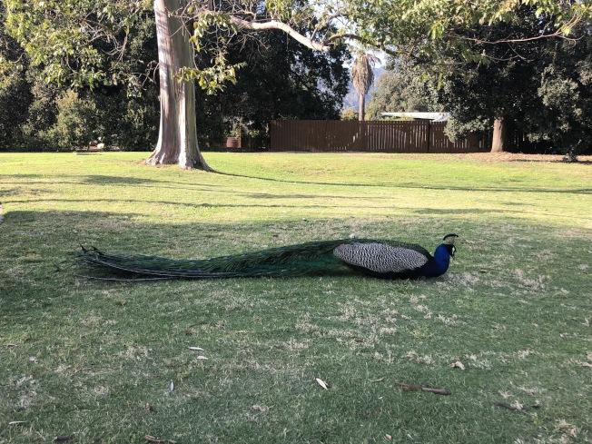 居民們抱怨孔雀在院子裡曬太陽,還要將土地刨一個坑再窩在裡面。(記者李雪/攝影)