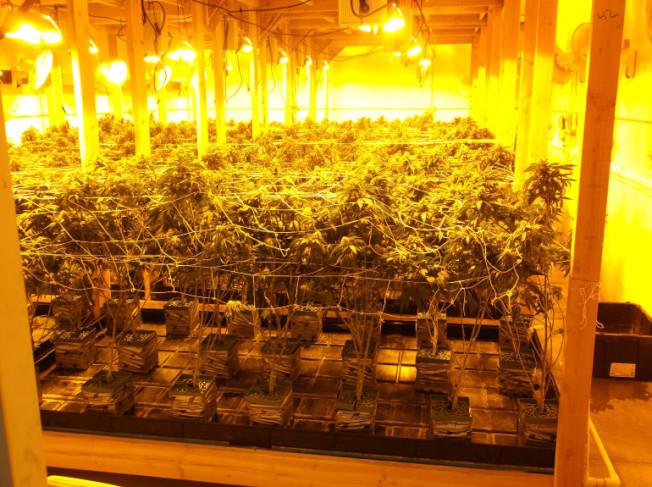 華人在聖伯納汀諾縣種植3575株大麻被查獲。(圖:聖伯納汀諾縣警局提供)