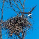 驚喜!白頭海鵰當鄰居