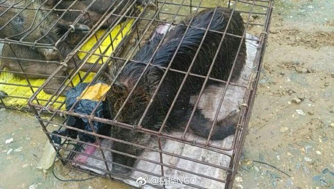 铁笼中的野猪哀号不止。(取材自微博)