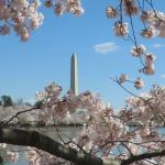 〈圖輯〉看各地櫻花盛開時…