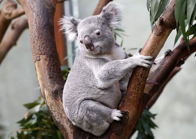 澳洲無尾熊普遍感染披衣菌,科學家懷疑和與愛滋病毒系出同門的反轉錄病毒有關。(路透)