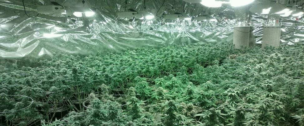 艾市驚現大範圍大麻私種地。(艾市警局提供)