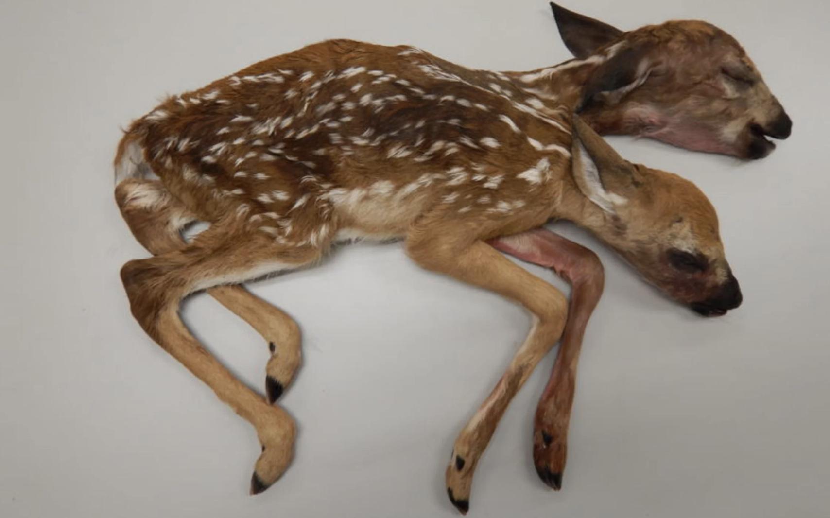 這頭身長60公分的連體嬰母鹿,是迄今為止足月生產的小鹿首例。喬治亞大學提供