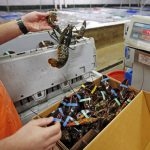 中美貿易戰延燒/龍蝦轉內銷 漁民苦食客樂