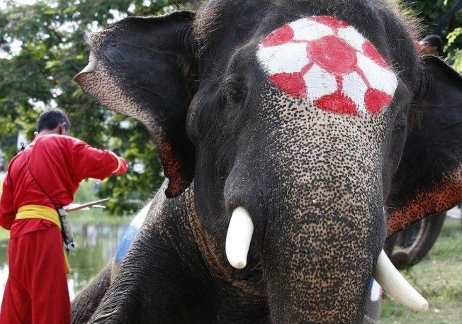 大象也來參一腳?2018俄羅斯世界杯前夕,泰國舉辦由大象參賽的模擬世足賽。 歐新社