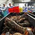 中國重手加稅 緬因龍蝦業先哀嚎