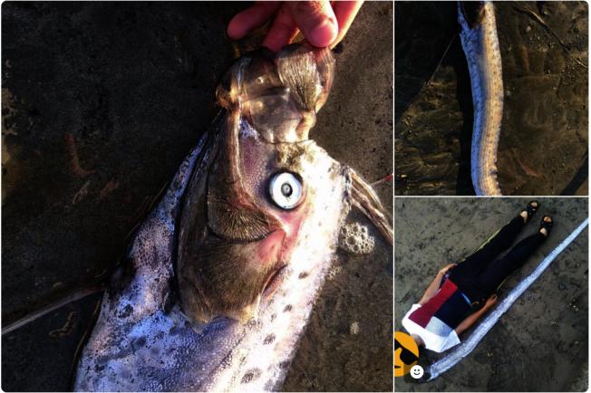 日本16日有人捕獲俗稱「地震魚」的皇帶魚,不料2日後大阪真的發生強震。圖擷自Twitter