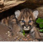 驚喜!4隻「藍眼睛」美洲獅寶寶 現身南加