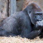 會手語懂千字 加州大猩猩「可可」46歲過世