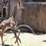 洛市動物園添長頸鹿寶寶 一出生近六呎