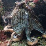 日本章魚世足賽預測神準 還是被煮上桌