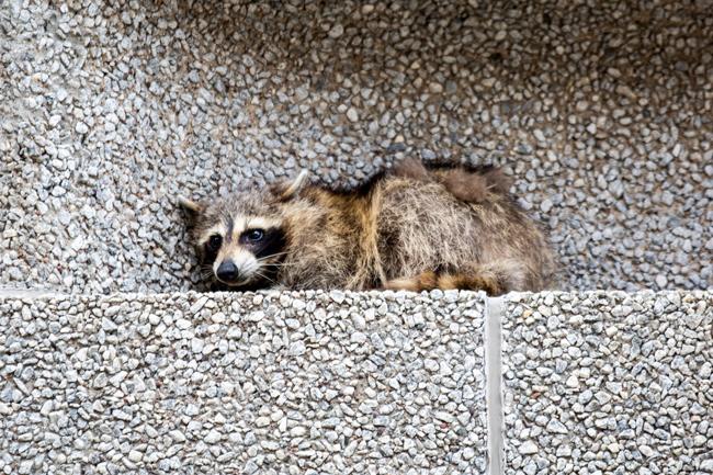 美國明尼蘇達州聖保羅一隻小浣熊一夕間成了網紅,牠攀上建築物外牆,受困在20多層樓高的窗台。美聯社