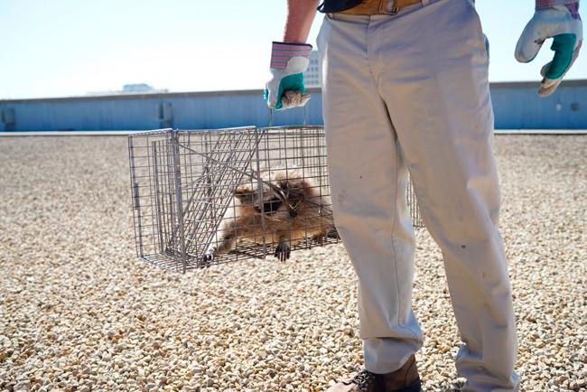 美國明尼蘇達州聖保羅一隻小浣熊一夕間成了網紅,圖為牠被獲救。美聯社