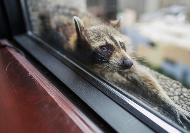 美國明尼蘇達州聖保羅一隻小浣熊一夕間成了網紅,牠攀上建築物外牆,受困在20多層樓高的窗台,讓圍觀人士全都捏把冷汗。美聯社