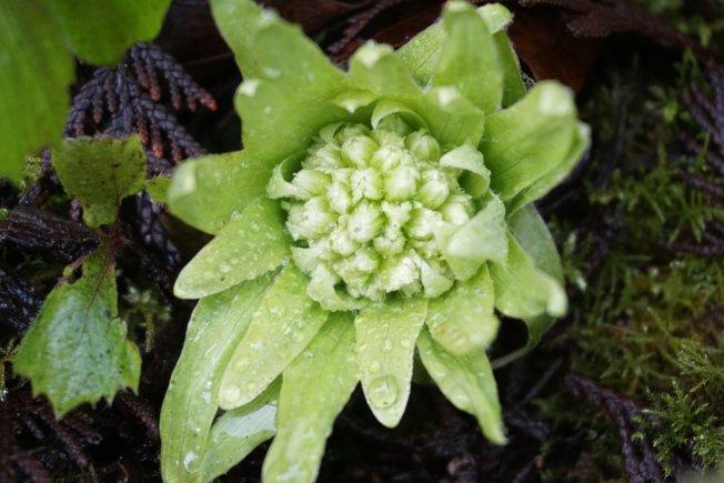 蜂斗菜绿色的苞片一打开,便露出其菊科特有的头状花序。
