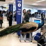 「安撫情緒」寵物搭機 航空業要管