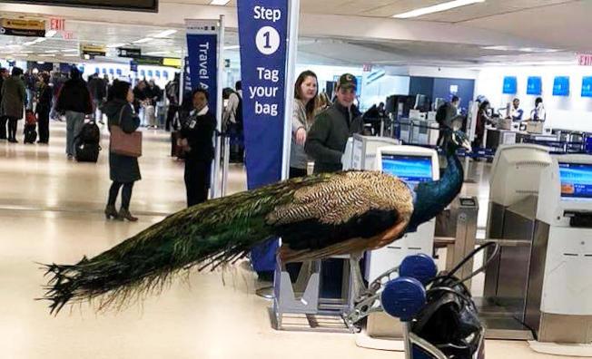運輸部同意審視旅客攜帶「服務性動物」搭機的規範。圖為今年初一名乘客企圖帶一隻安撫情緒的孔雀登機,遭聯航拒絕。(路透)