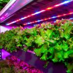 矽谷新創公司 建全球最大室內農場 日產3噸蔬菜