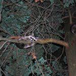中央公園浣熊染病 易傳給寵物