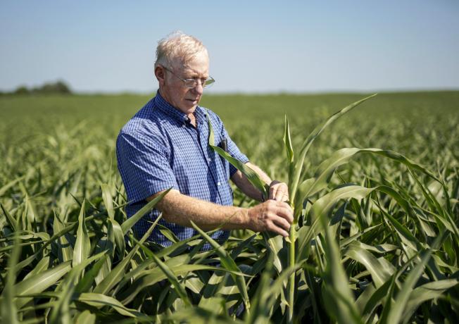 在內布拉斯加州的農民布勞斯正在檢視高粱,他歡迎川普總統的及時紓困,減少損失。(美聯社)