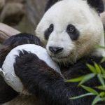 聖地牙哥動物園熊貓 「小禮物」歡度6歲生日