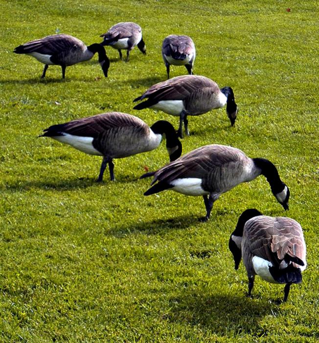 美國禁止盜獵加拿大大雁。(本報資料照片)