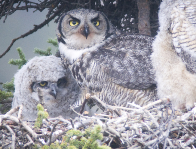 盜獵美洲鵰鴞(great horned owl)者判刑三年。(NPS)