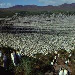 氣候變遷!國王企鵝最大棲地失守 企鵝量銳減90%