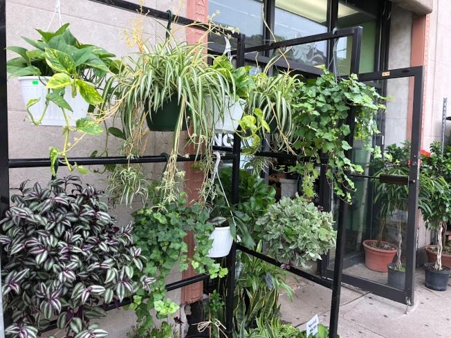 若住家在教堂、廟宇、警察局或消防局附近,風水師建議可在門口種植常青植物擋煞。(記者顏嘉瑩/攝影)