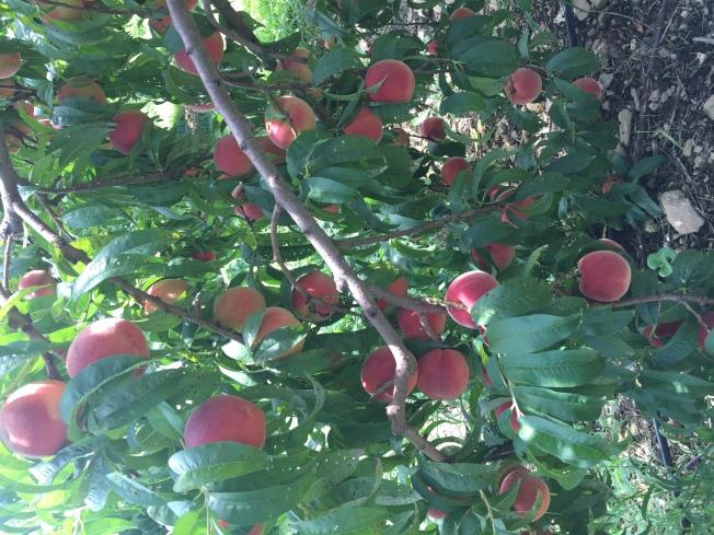 8月是採摘桃子的好時候。(記者朱蕾/攝影)