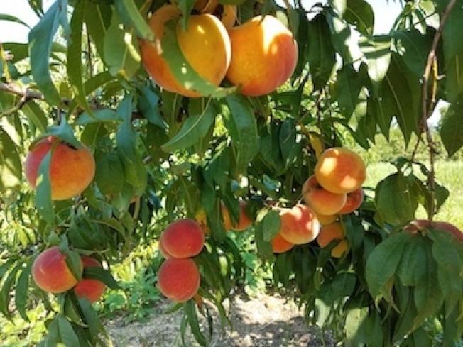 「心情農夫市場」的黃桃結實累累。(取自臉書)