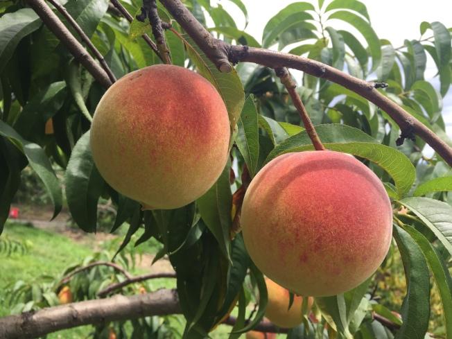 8 月紐約周邊農場的桃子非常誘人。(記者朱蕾/攝影)