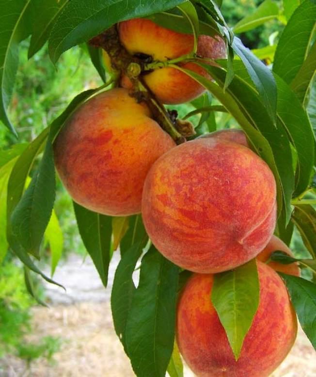 紐約周邊的農場,最近提供不同品種的桃子供遊客品嘗採摘。(取自臉書)