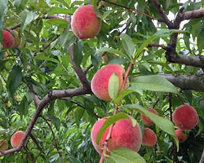 紐約周邊有多家農場開放桃子採摘。(取自臉書)