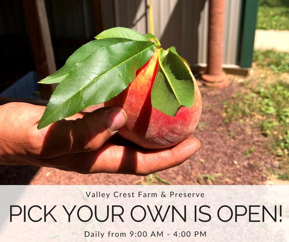 谷峰農場將舉辦桃子和大麗花節。(取自臉書)