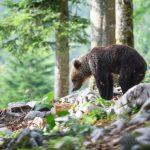 森林不能沒熊!  這國家棕熊增千隻  推「觀熊旅行團」