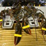才從風災復原…中國訂單跑了 美龍蝦業又重傷