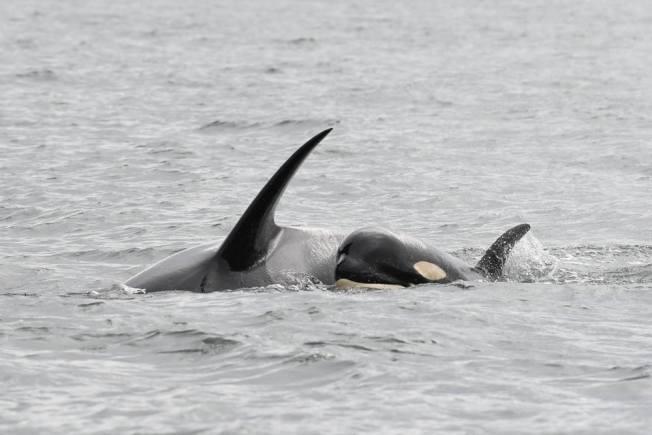 加拿大卑詩省外海幼鯨夭折故事引發民眾對瀕危虎鯨的關注。(取材自Center for Whale Research臉書)